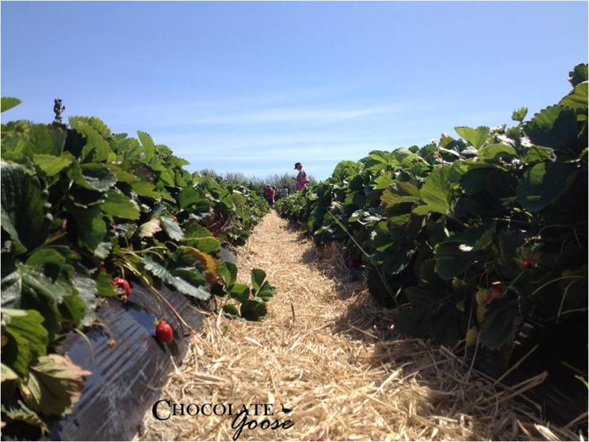 Strawberry picking 3